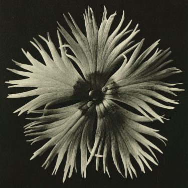 Karl Blossfeldt: Art Forms in Nature |  Limerick City Gallery  Pery Square, Limerick | Friday 20 July to Sunday 2 September 2018 | to